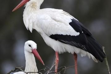 storks Ooievaars in Frankendael