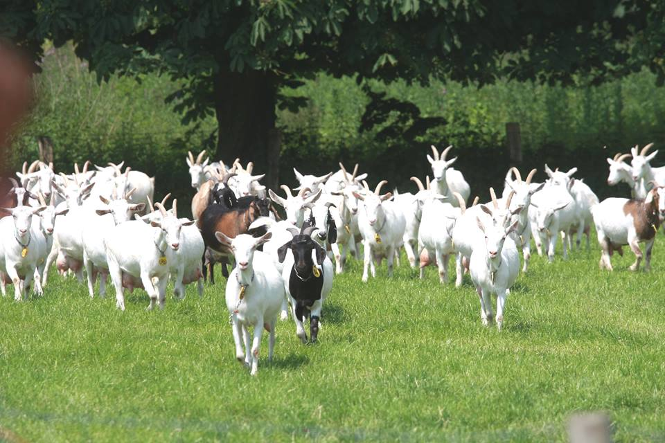 Good Food For Goats