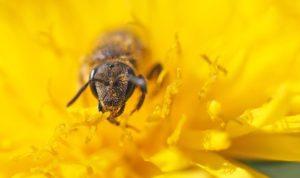 Het nut van bijen